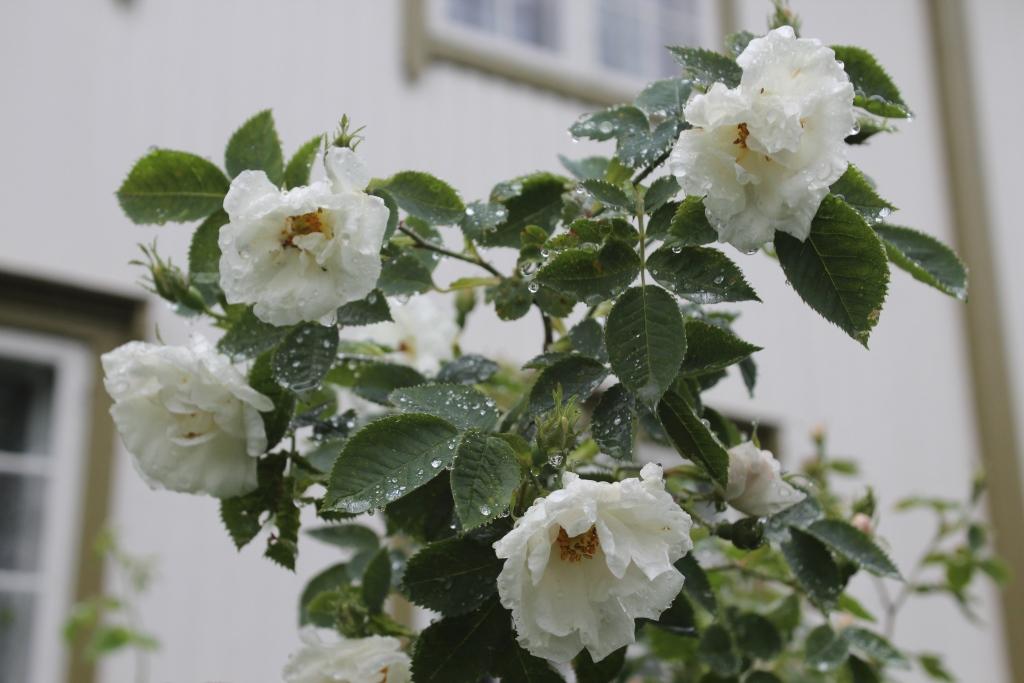 albaroser1