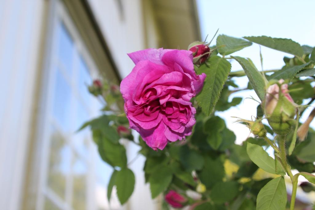 rose-agathe