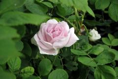 Historisk rose: Minette