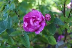 Historisk rose Agatha